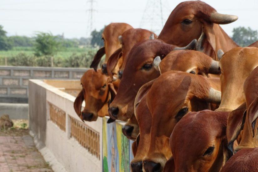 indija krave